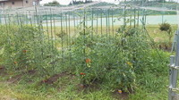 Tomato-batake11-07.jpg